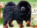 藏獒-铁包金-种公——龙头 (1)
