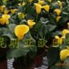彩色马蹄莲盆花
