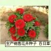 产销售花卉种子 百日草