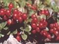 长白山野葡萄 (1)
