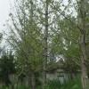 如何区别银杏树的雌雄
