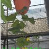 生态餐厅的首选|专利倒栽花盆|阳台种菜