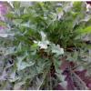 大叶蒲公英|最天然的抗生素|保健野菜