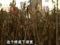 合肥市绿化苗木因阳光不足成片枯死 (357播放)