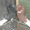 福建福州哪有观赏鸽养殖场观赏鸽价格