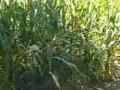 玉米秸秆青贮饲料的好方法 (847播放)