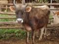 趣谈中国文化中的牛