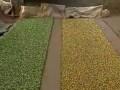 绿色芽菜生产技术(1) (293播放)