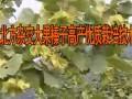 北方杂交大果榛子高产优质栽培技术 (291播放)