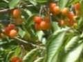 大樱桃栽培技术一 (2008播放)