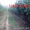 出售1.5--2公分杨树苗,数量500万