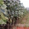 107杨树苗什么价格 108杨树苗种植基地
