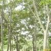 供应雪松,榉树,朴树,乌桕,香樟,栾树,桂花,石楠