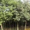 供应大叶女贞等多种绿化苗木