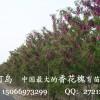 香花槐树苗,规格齐全、低价出售