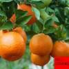 柑桔树苗嫁接柑桔小苗柑橘苗大量供应 柑橘小苗 柑橘树苗