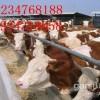 山西养殖专业合作社出售肉牛犊