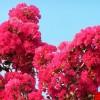 优质紫薇盆景紫薇树苗 供应紫薇苗 紫薇树小苗