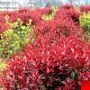 红叶石楠球红叶石楠树苗工程用苗红叶石楠树小苗 红叶石楠苗