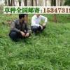 牛羊鹅养殖的牧草种植湖南俄罗斯饲料菜种和籽粒苋草种子