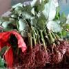 2015年玫瑰苗,玫瑰花苗专业生产供应
