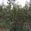 供应柿子树、供应7-8-9公分柿子树、山西春秋苗圃
