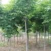供应七叶树、6-12公分七叶树、山西七叶树、七叶树基地