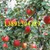 陕西华冠苹果价格陕西粉红女士苹果代办陕西苹果价格林新一号产地