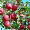 双矮苹果苗育苗基地