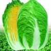 韩国大奖黄心白菜种子