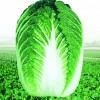 韩国健春大白菜种子