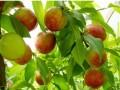 油桃优质高效栽培 (551播放)
