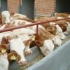 山东广源牧业最大肉牛羊养殖场