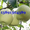 陕西酥梨基地\陕西纸袋砀山酥梨产地价格