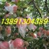 红富士苹果基地\红富士苹果价格\红富士苹果价格走势