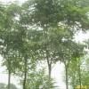 供应栾树等多种绿化苗木