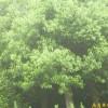 供应香樟等多种绿化苗木