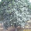 江苏南京桂花等多种绿化苗木