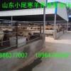 供应纯种杜泊绵羊