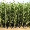 大力士甜高粱种子 进口牧草种子