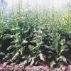 菊苣种子 牧草种子