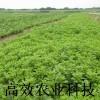 新型野菜--救心菜种苗—养心菜 纯绿色保健蔬菜