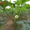 补肾菜种子 黄秋葵种子 保健药用特菜种子