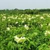 高效菜芙蓉种子 保健蔬菜种子