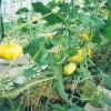 微型观赏南瓜种子  金童玉女价格