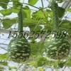 天鹅葫芦种子