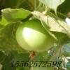 苹果葫芦种子