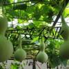 葫芦娃种子 观赏葫芦新品种