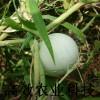 鸡蛋葫芦种子