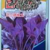 紫色菠菜种子 营养蔬菜之佳品